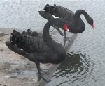 [A real photo of 2 black swans]