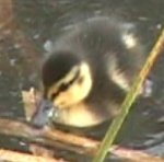 [A photo of a duckling]