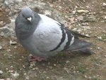 [A photo of a pigeon]